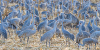 Sandhill Cranes Convention