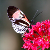 Butterfly on Red Bloom