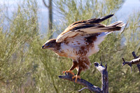 Hawk at Sonoran Desert Museum