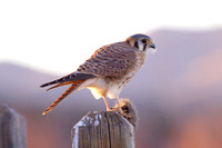 Kestrel Dining