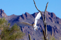 Barn Owl in Flight - Sonoran Desert Museum