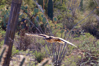 Sonoran Desert Museum Hawk in Flight