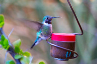 Hummingbird on Red Feeder