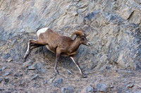 Bighorn Sheep Running