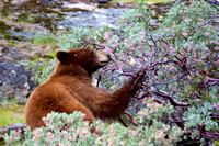 Bear Snacks in Spring