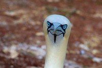 Northern Gannet Closeup